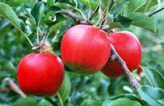 В голосовании за зеленый символ Тамбовской области по-прежнему лидирует яблоня
