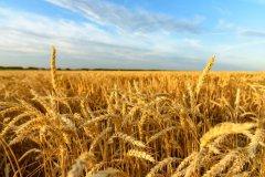 В Тамбовской области в 2020 году собрали рекордный урожай